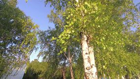 Birch leaves swaying with the wind. Slowly stock footage