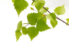Birch leaves of the tree. Stock Images