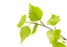Birch leaves of the tree. Royalty Free Stock Photography