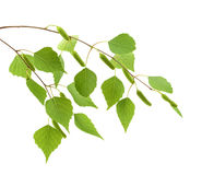 Birch leaves of the tree isolated on the white background Stock Image