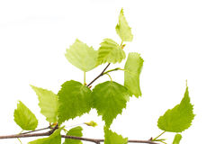 Birch leaves of the tree. Stock Photos