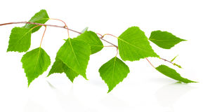 Birch leaves of the tree. On the white background Stock Photography