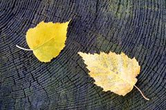 Birch leaves Stock Photos