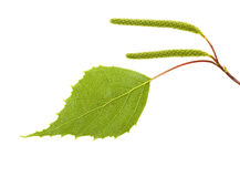 Birch leaves on a white background Stock Photography