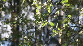 Birch leaves on the wind stock video footage