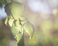Birch leaves Royalty Free Stock Images
