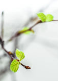 Birch leaves Royalty Free Stock Image
