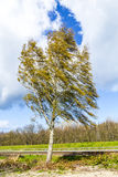 Birch on a levee in Usedom Royalty Free Stock Image