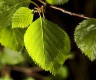 birch liści, obrazy stock