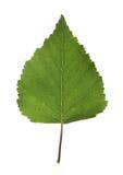 birch liści, Obrazy Royalty Free