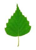 birch liści, Obraz Royalty Free