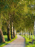 Birch Lined Path Stock Image