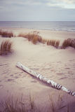 A birch log in the beach dunes Royalty Free Stock Image