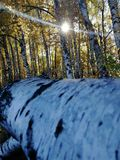 Birch log in the grove. The dead tree is defeated in a birch grove and lighting through the autumn crowns of the trees by the November sun royalty free stock photo