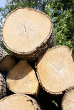 Birch Logs Close Up Royalty Free Stock Photo