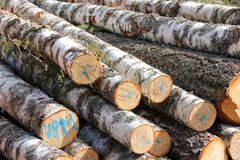 Birch Logs Detail Stock Photography