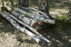 Birch logs felled trees Stock Image