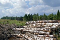 Birch Logs at Forest Clear Cut stock photo