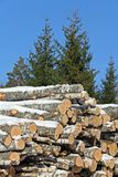 Birch Logs and Spruce Trees Royalty Free Stock Photos