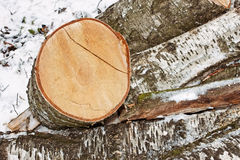 Birch logs in winter Stock Images
