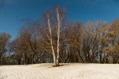 Birch lonely in the snow. Russia Moscow March 10 2016 royalty free stock photos