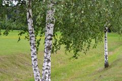 Birch. Lovely young birch growing on the field Royalty Free Stock Photos
