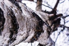Birch in macro photography. Nature in Tekeli royalty free stock photo