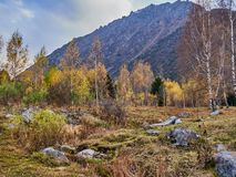 birch meadow at the foot of the mountains royalty free stock image