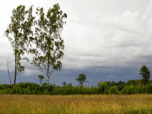 Birch meadows edge with overcast skies Royalty Free Stock Photo