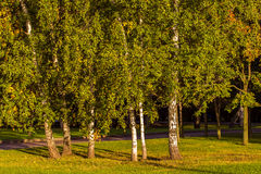 Birch morning Stock Photos
