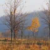 Birch of morning Stock Image