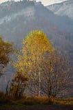 Birch mountain autumn mist. Autumn birch tree on the edge of the canyon. Caucasus, Russia Stock Images