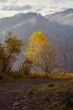 Birch mountain autumn mist. Autumn birch tree on the edge of the canyon. Caucasus, Russia Stock Photos