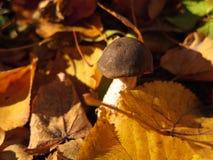 Birch-mushroom Royalty Free Stock Photos