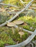The birch mushrooms Royalty Free Stock Image
