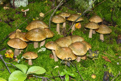 Birch mushrooms Royalty Free Stock Images