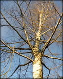 Birch. None foliage with blue sky in the background Royalty Free Stock Image