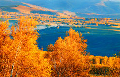 The birch Royalty Free Stock Images