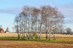 Birch om farmland Royalty Free Stock Photos