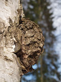 Birch outgrowth grows on a trunk Royalty Free Stock Images