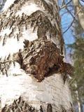 Birch outgrowth grows on a trunk Stock Photos