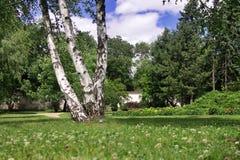Birch in park Stock Photo
