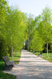 Birch park alley in spring Stock Image