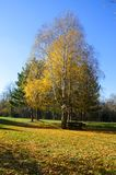 Birch in the park on a hill near the town. Birch in the park illuminated by the autumn sun rest and enjoyment Royalty Free Stock Photos