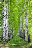 Birch park in spring Stock Photos
