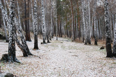 Birch path Royalty Free Stock Images