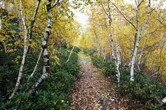 Birch path stock images