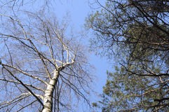 Birch and pine Stock Photography