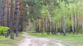 Birch and pine forests stock photography