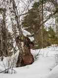 Birch and pine snow-covered fairy-tale forest in Altai, Russia.  royalty free stock photo